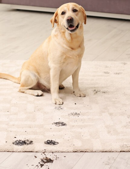 mud stain on rug by dog | Jack's Tile And Carpet